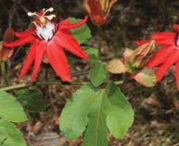 crimson-flowers
