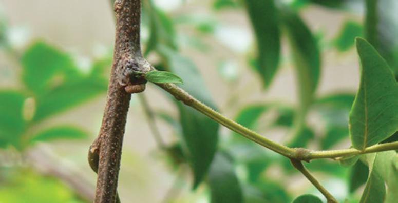 mistletoe-brush