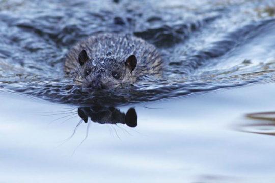 The Australian Water Rat: A little known aquatic predator