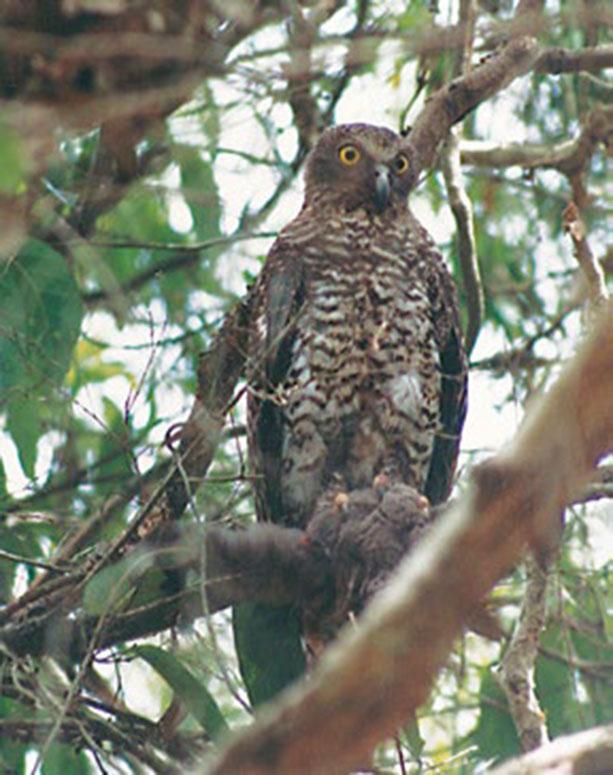 Powerful Owl clutching its prey