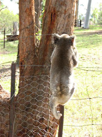 koala climbing fence