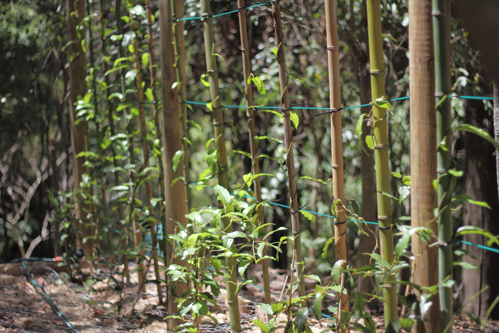 trellises of Richmond Birdwing Vines in Foam Bark Gully