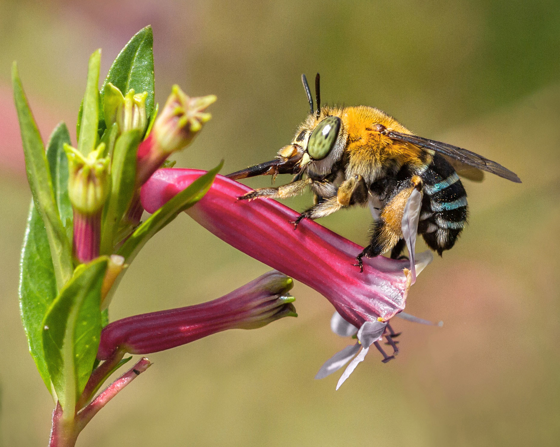 a female blue-banded bee robbing nectar by piercing the ower petals with her straw-like brown sheath that protects her tongue