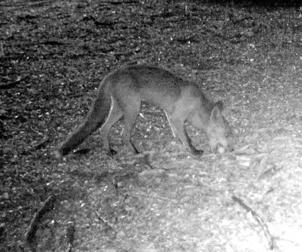 A fox takes a Bush Stone-curlew egg