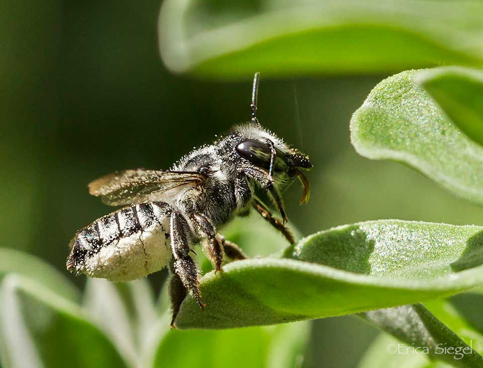 Leafcutter Bees The Mystery Behind Circular Holes In Leaves
