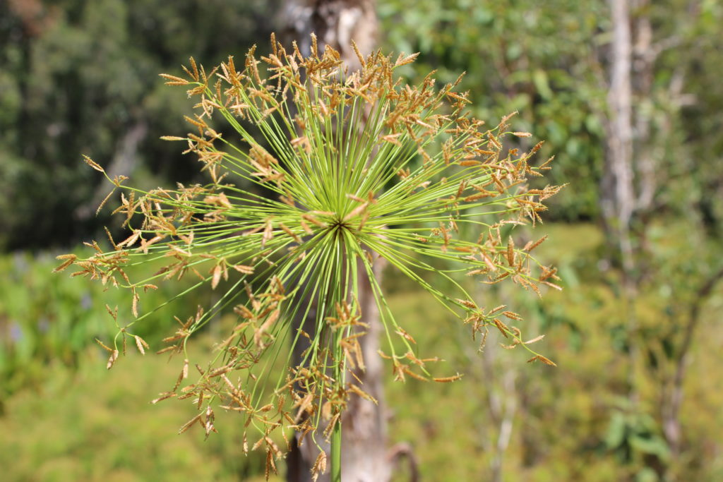 In The Natural Environment Dwarf Papyrus Invades Wetland Areas And Is A Smaller Version Of Other Invasive Sedge Cyperus