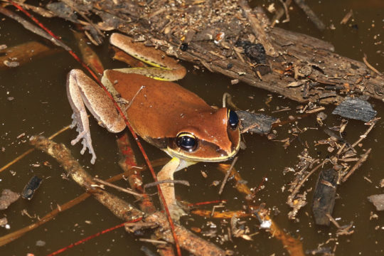 In Search of the Green-thighed Frog